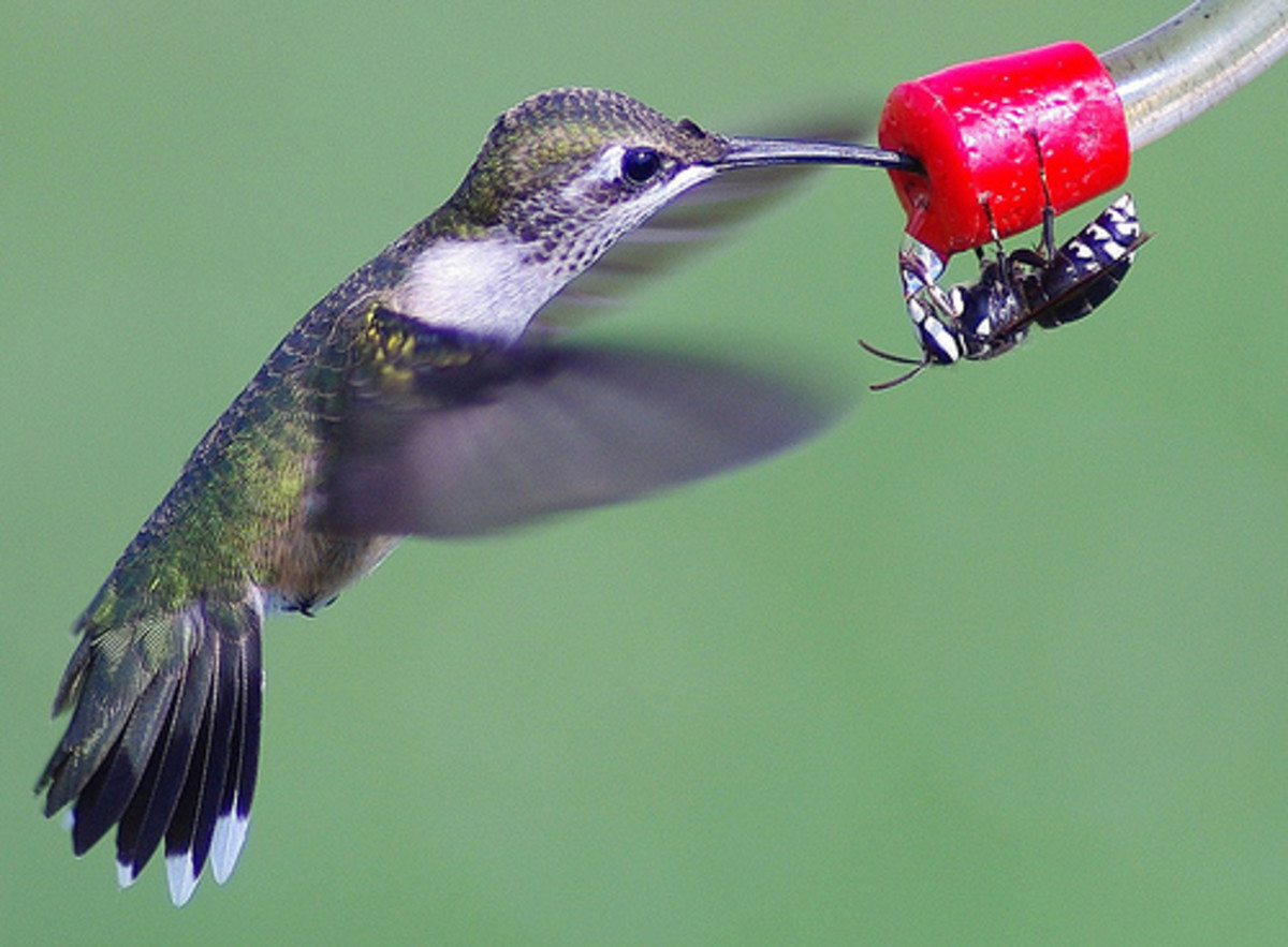 The tiny Bee Hummingbird, the smallest bird in the world.