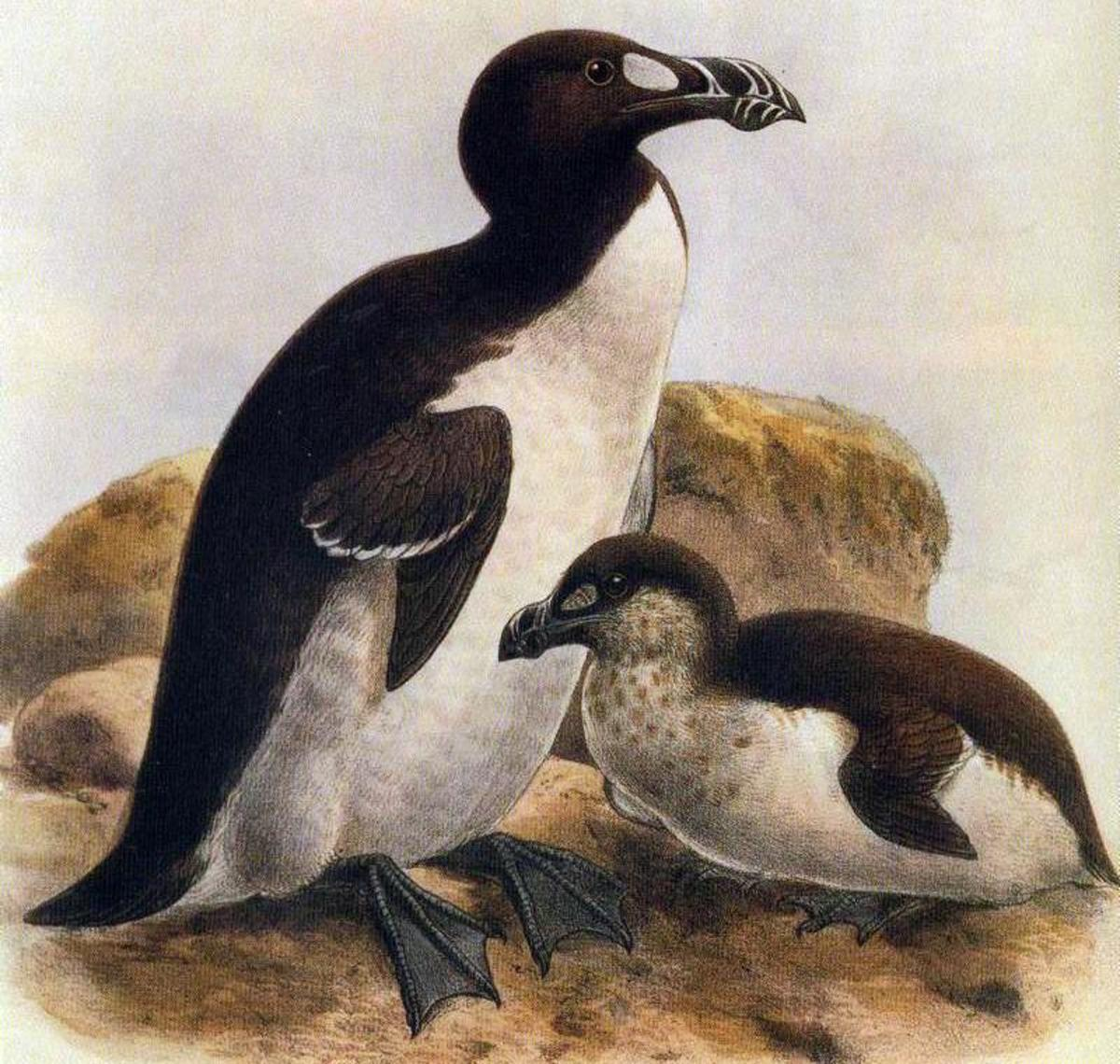 The Great Auk had a similar appearance to present day penguins.