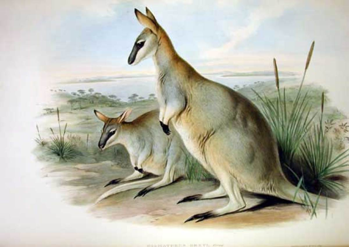 The Toolache Wallaby was officially declared extinct in 1943.
