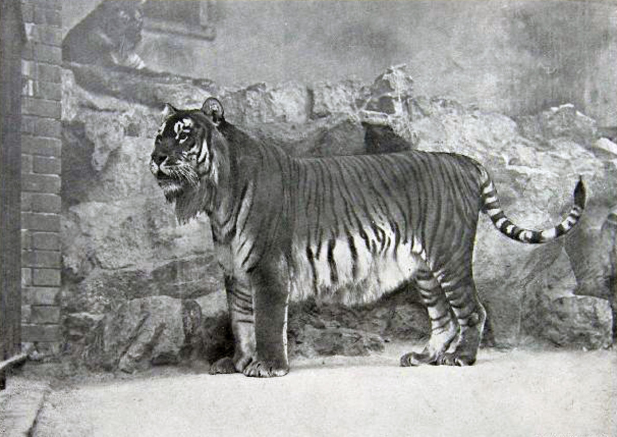 The Caspian Tiger was officially declared extinct in the 1970s.