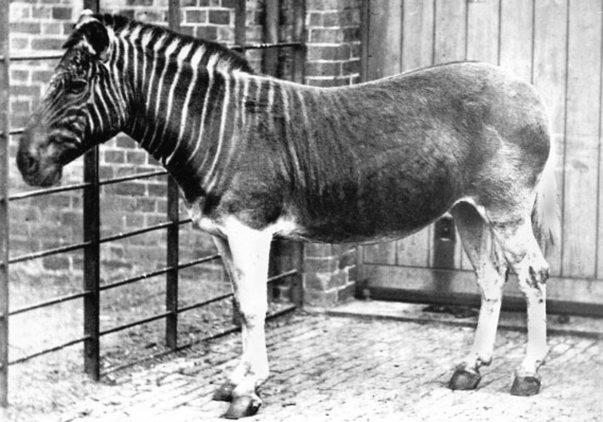 A Quagga photographed in London Zoo in 1870.