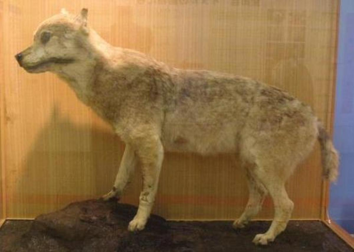 A stuffed Honshu wolf at the Ueno zoo.