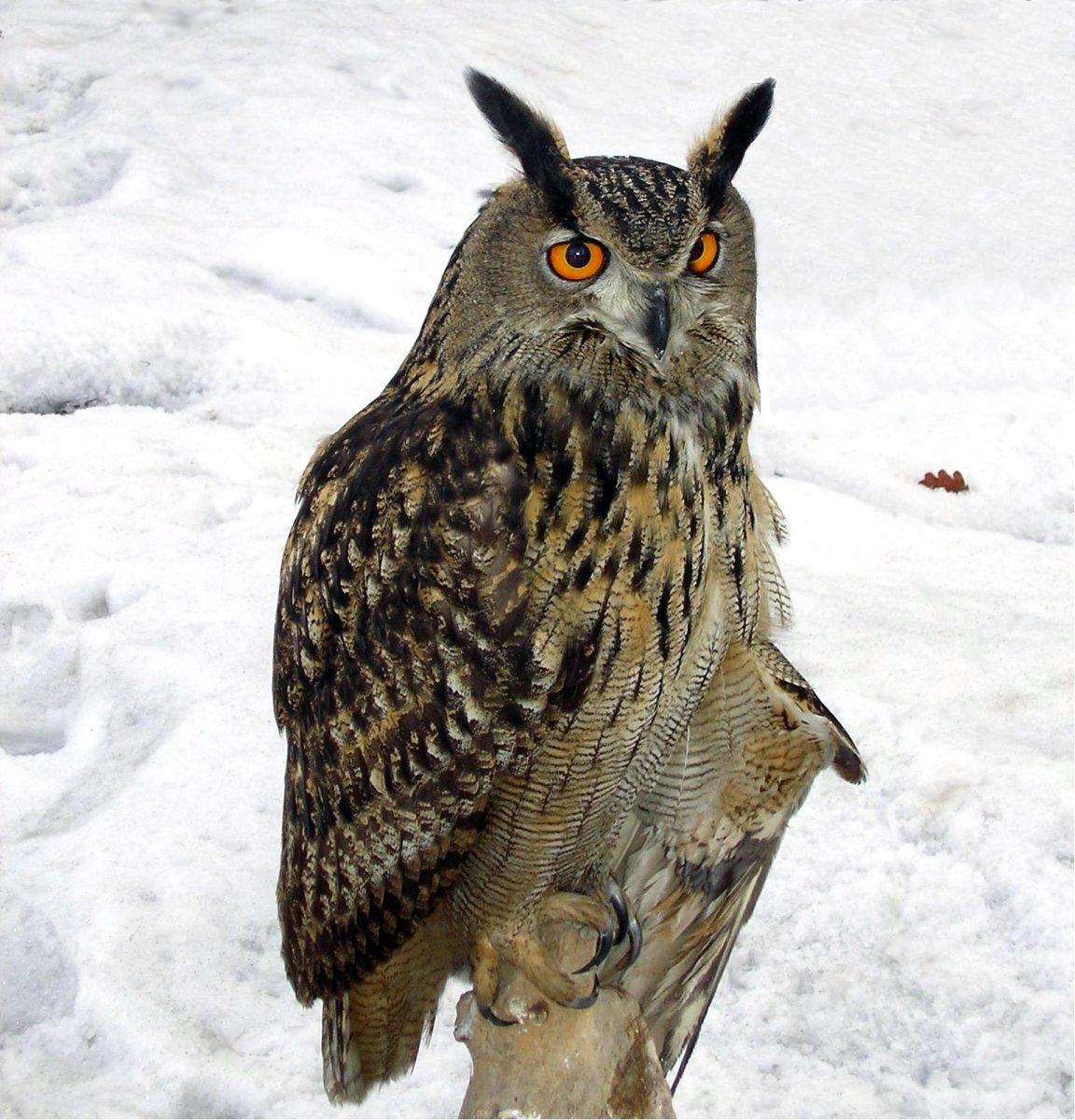 Eurasian Eagle Owl, Poland.