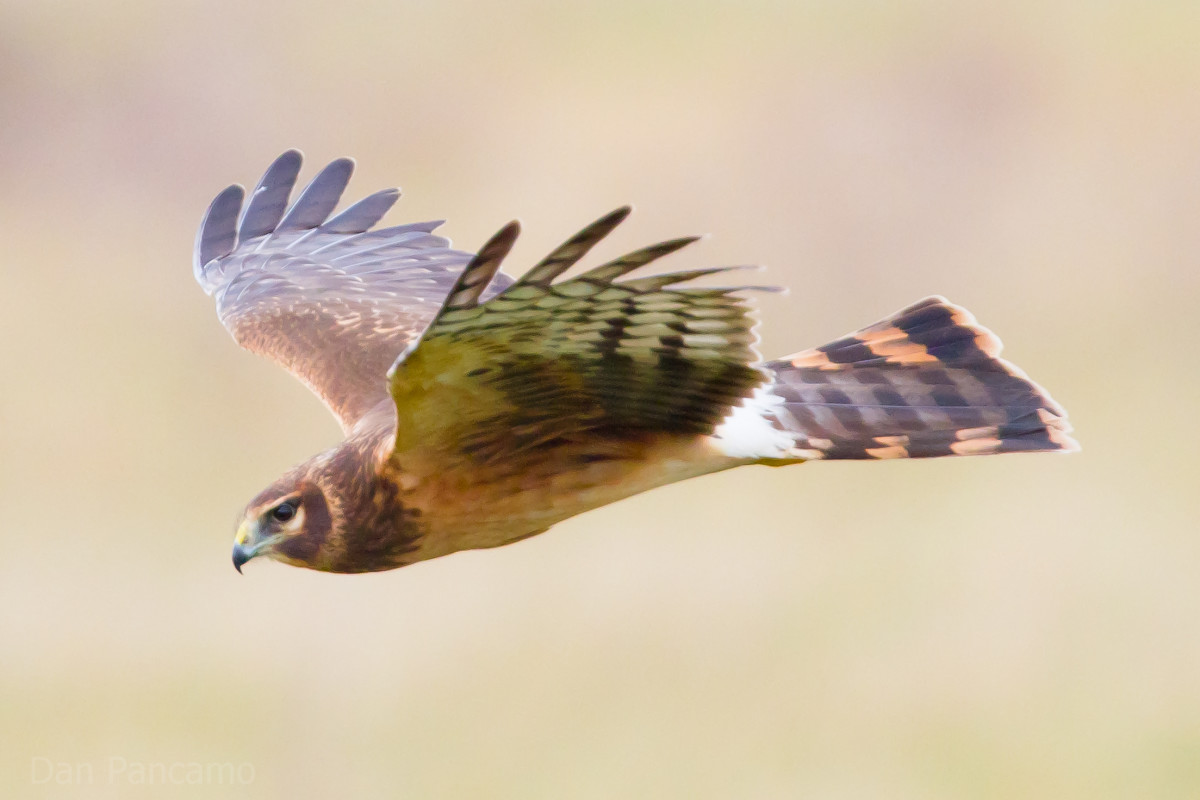 Britain's Hen Harrier population is thought to be threatened by the presence of the Eurasian Eagle Owl.