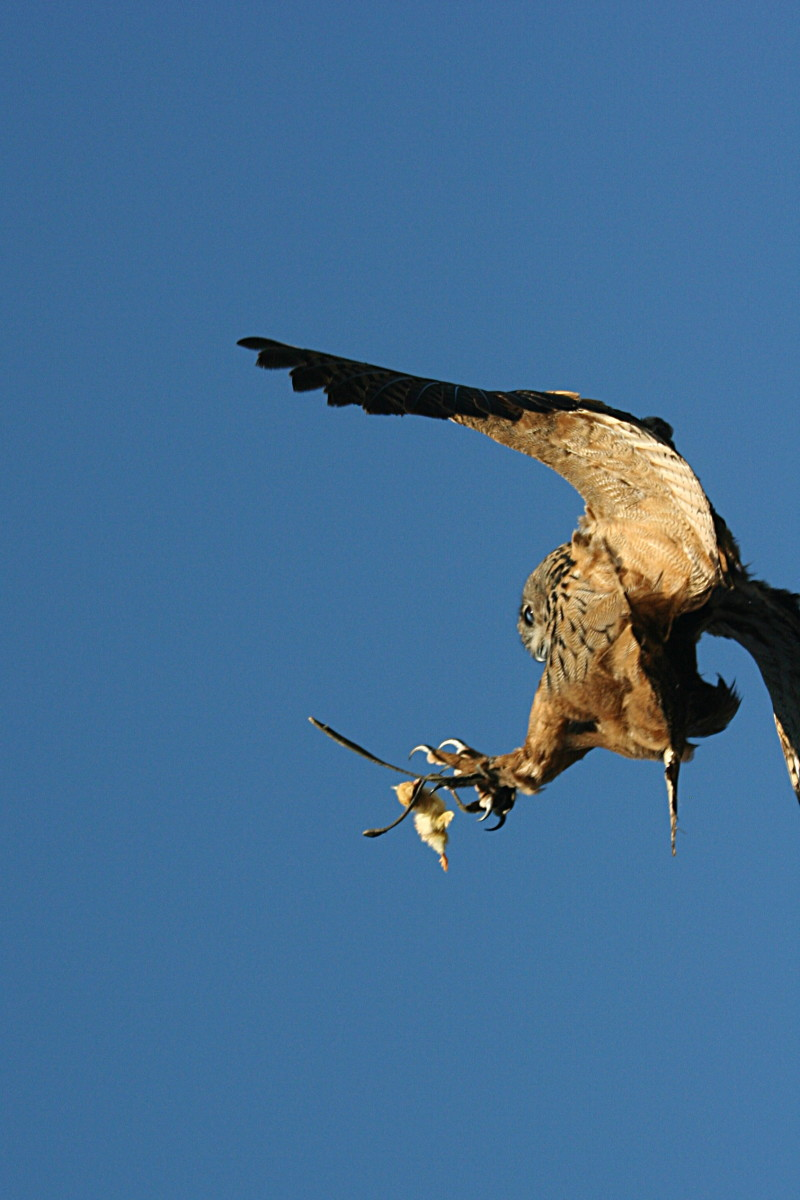 A Eurasian swoops for the kill.