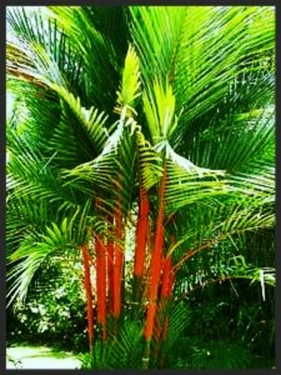 The Lipstick Palm is also known as Sealing Wax Palm, Rajah Palm, and Red Sealing Wax Palm.
