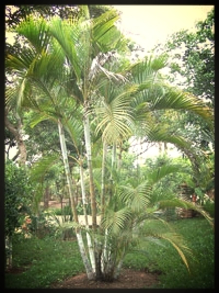 Areca Palms come from the Arecaceae family, also referred to as bamboo palm, golden cane palm, and butterfly palm.