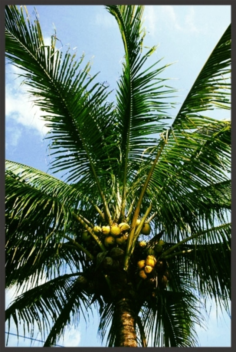 "Flowers are followed by fruits called ""coconuts"". Coconut is one of the most recognizable and most useful fruits in the world."