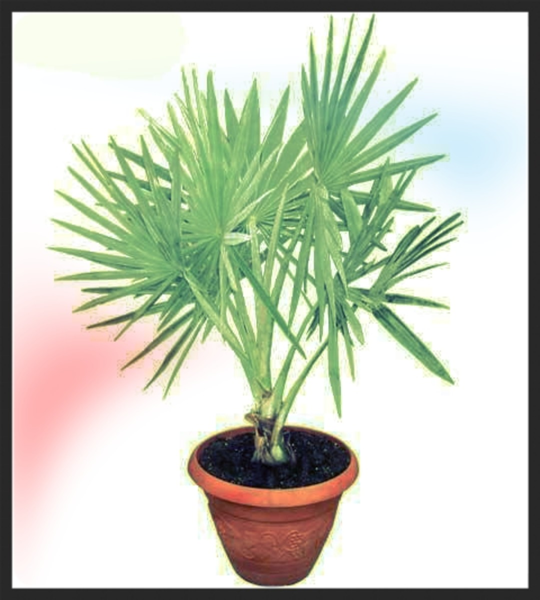 Bismarck Palms are known for their silvery fronds which grow vertically from toothed petioles.