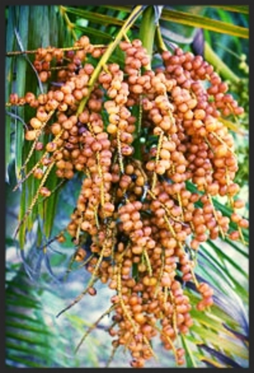 The Areca Palm produces small bright yellow flowers during late spring to early summer. After 2-3 months of blooming, light greenish-yellow fruit are produced and eventually turn yellow-orange when ripe.