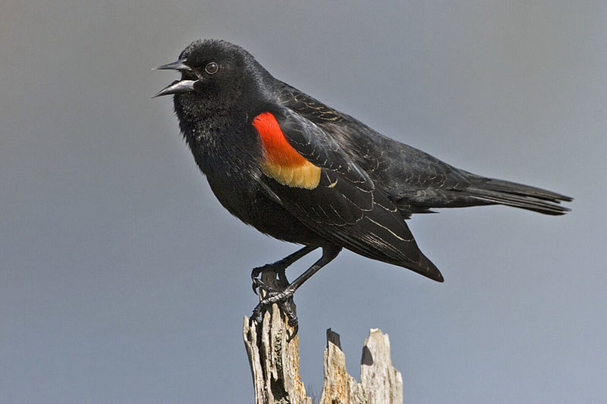 Red Winged Blackbird: a small black bird with red shoulders. It will sometimes visit NC bird feeders.