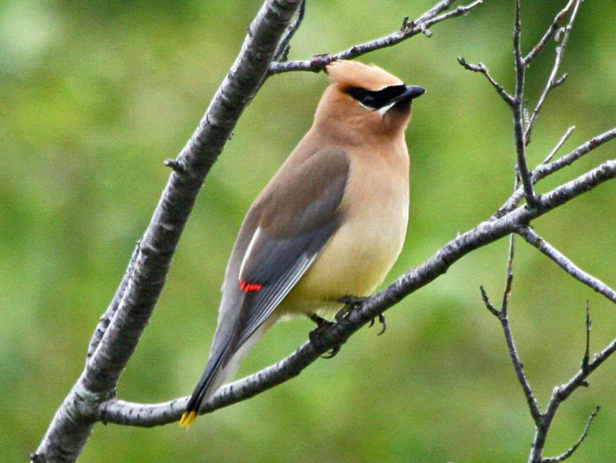 I think that the Cedar Waxwing is one of NC's most exotic looking birds.