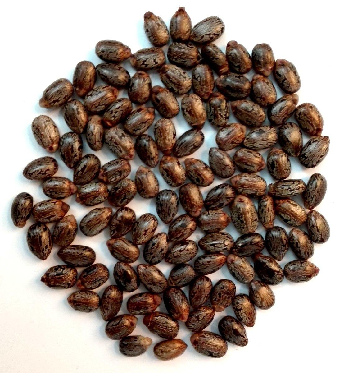 Castor beans from the Ricinus communis plant