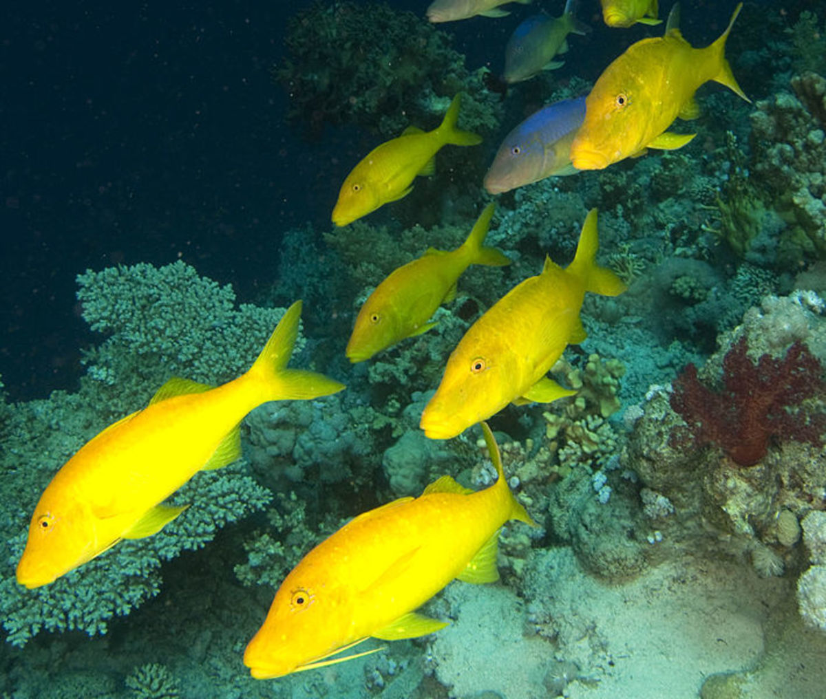 Yellow goatfish - Parupeneus cyclostomus