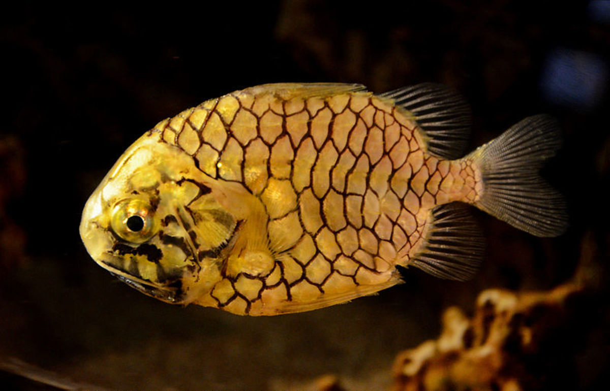 Pineapplefish - Monocentris japonica
