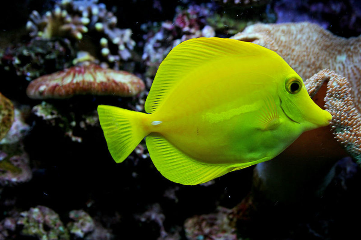 Yellow tang fish - Zebrasoma flavescens