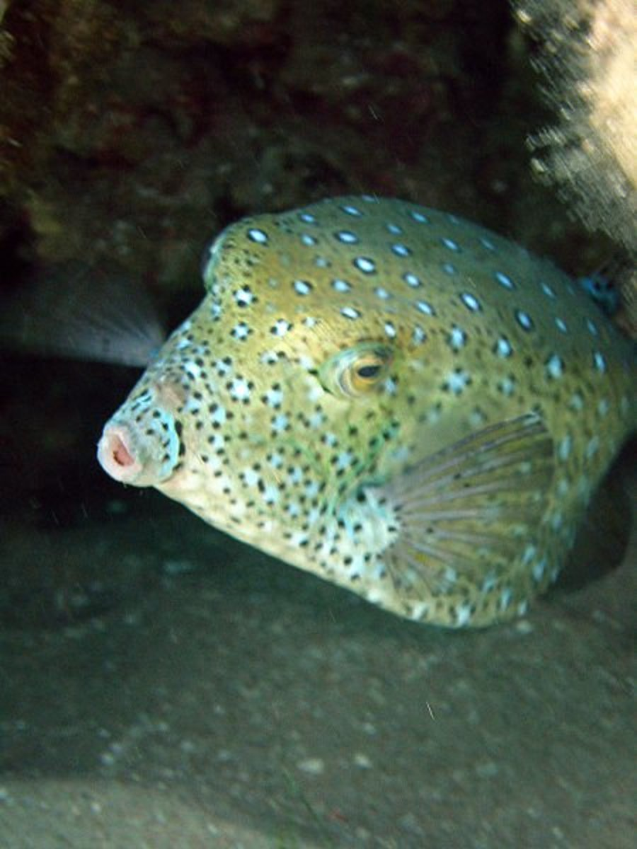 Faded colour of Old Yellow Boxfish - Ostracion cubicus