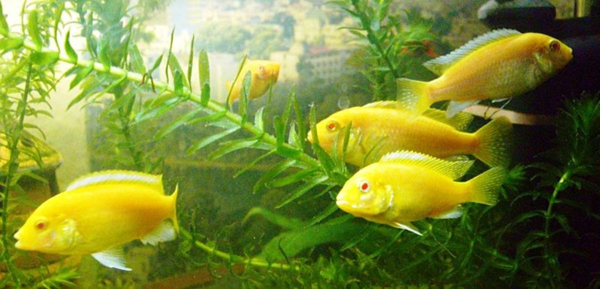 Electric Yellow Fish - Labidochromis caeruleus