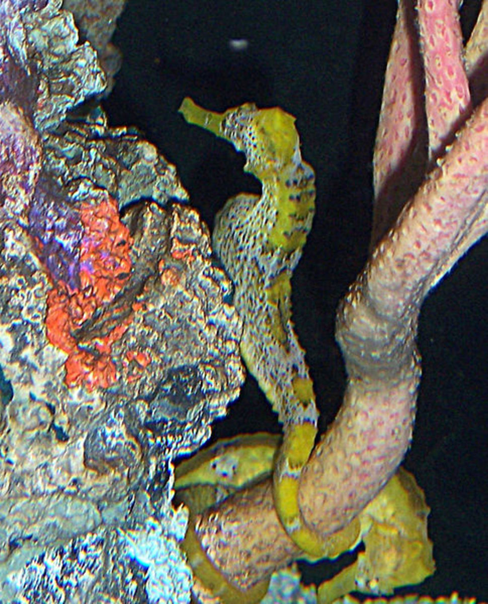 Longsnout Seahorse - Hippocampus reidi