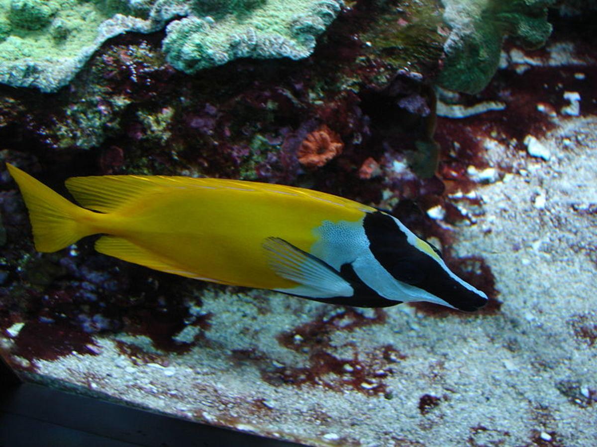 Foxface rabbitfish - Siganus vulpinus