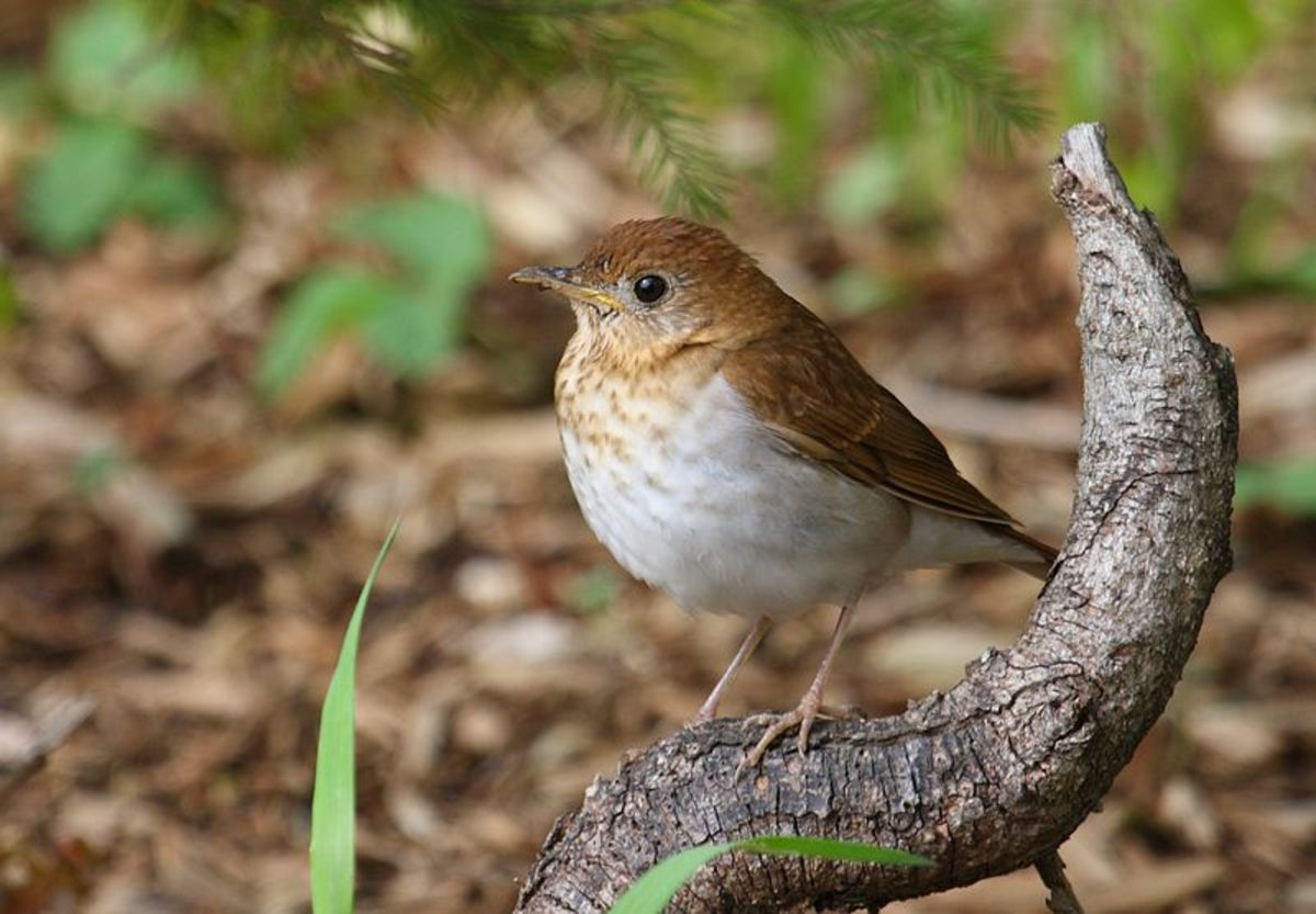 The Veery, a type of thrush, can be confused with the Wood Thrush and some types of wrens.