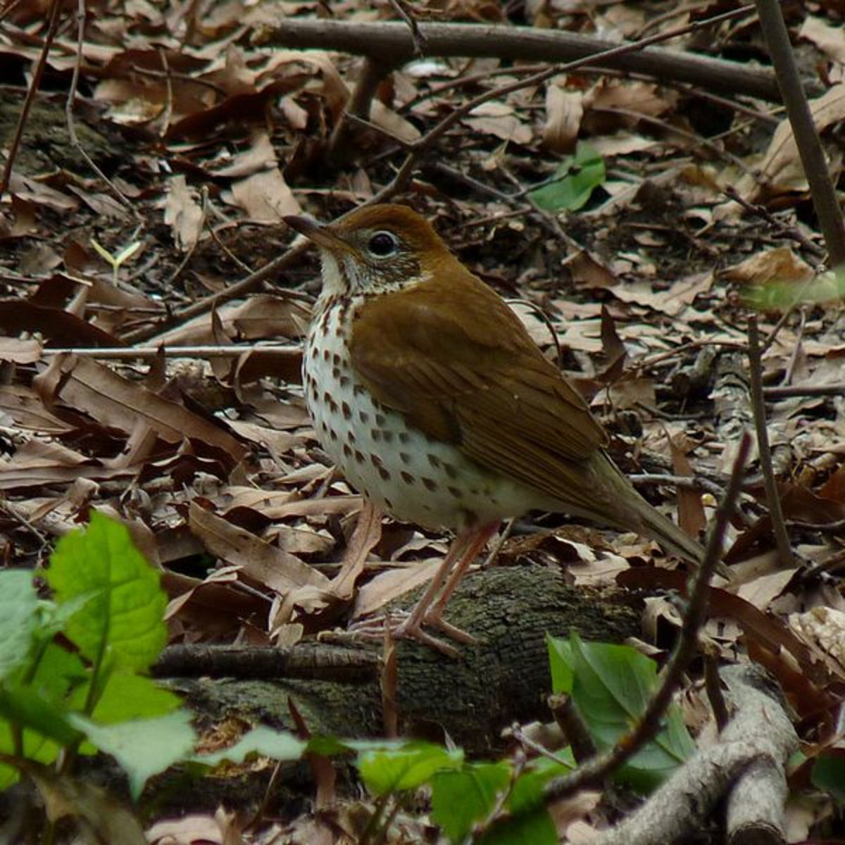 Wood Thrush can be seen hopping amongst the underbrush in NC back yards, parks and forests.