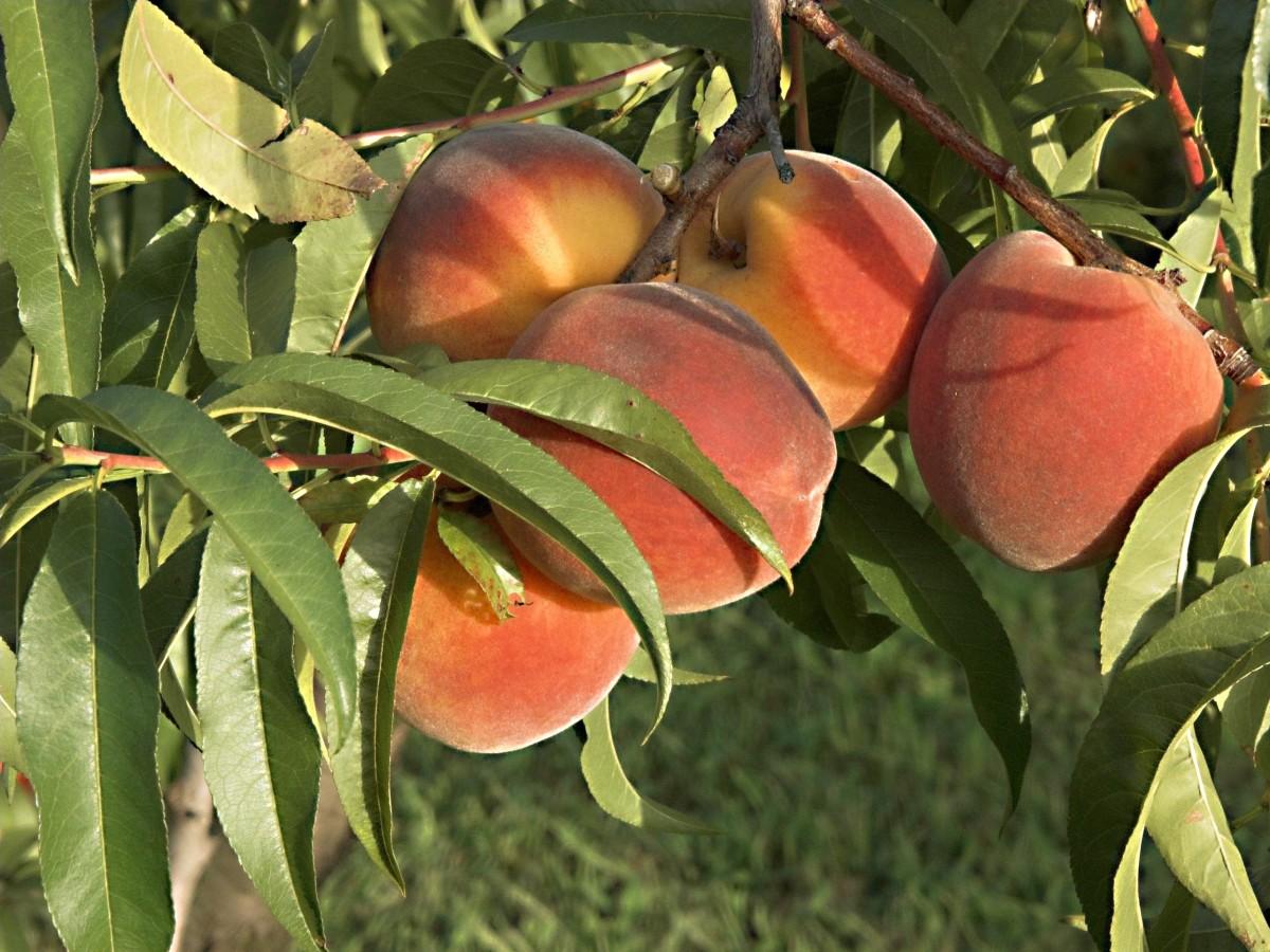 Earwigs like apricot fruits and may seriously damage them.