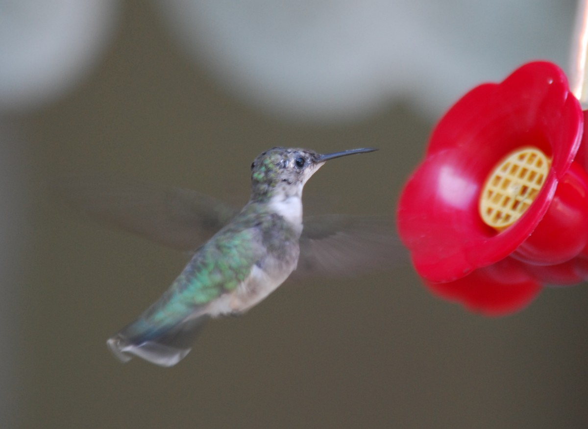 Hummingbird nectar sources provide quick energy after their long migration.