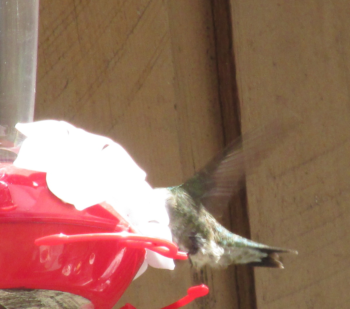Hovering while eating, this hummer's wings are a translucent blur!