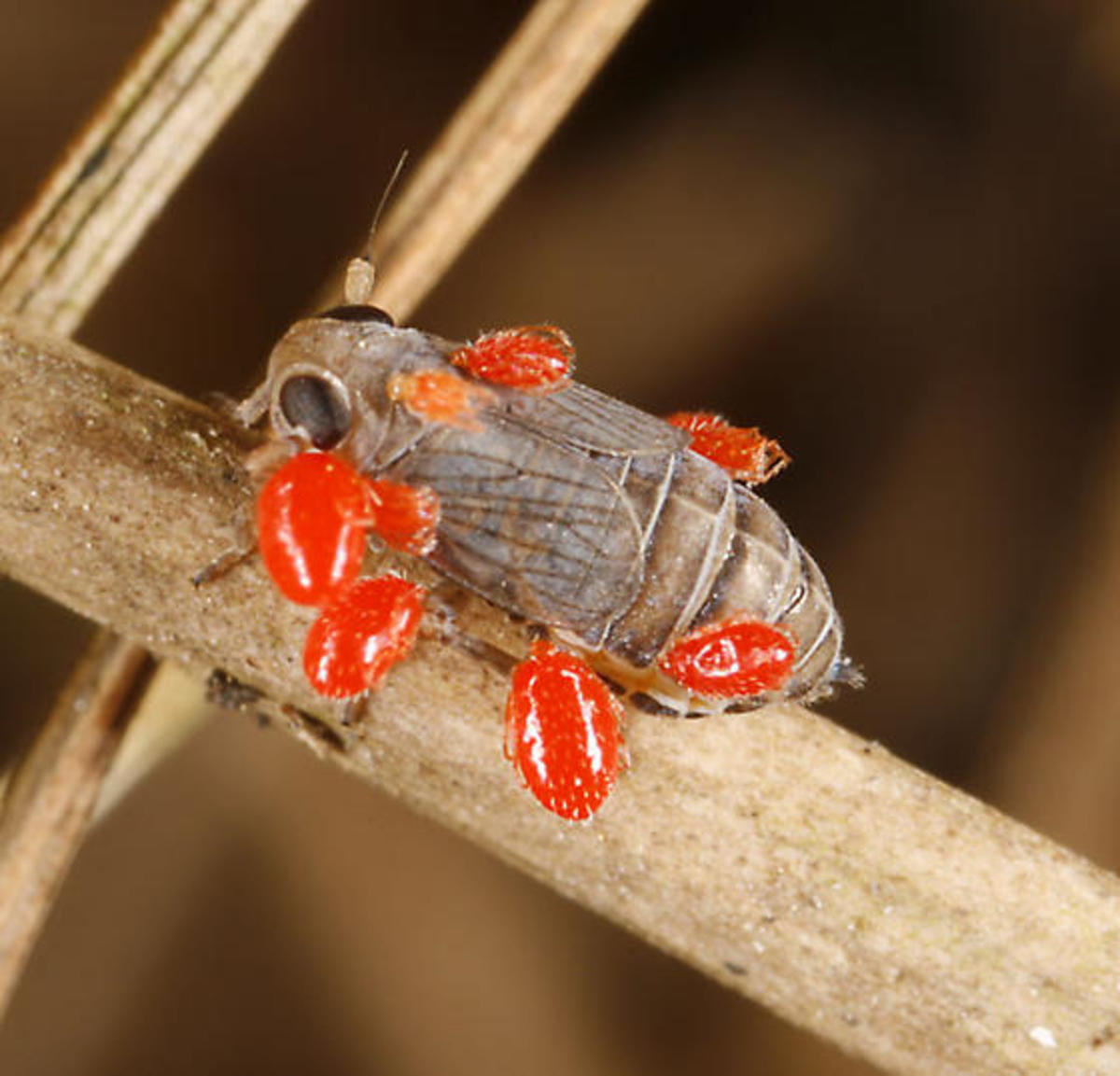 Larva of red velvet mite on host
