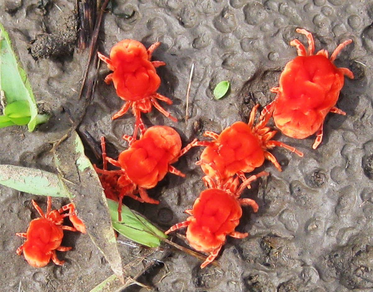 "Red velvet mite (or ""red velvet mite"", Dinothrombium sp., family Trombidiidae) looks like a thick, but its main prey is the termite. The adults live underground until the rains start, when they emerge in large numbers"
