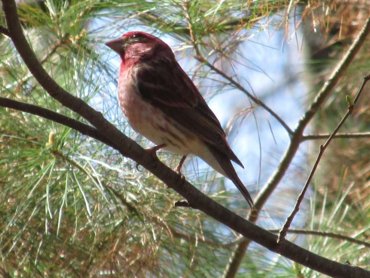 Male Purple Finch proudly displays his light and dark raspberry colors.