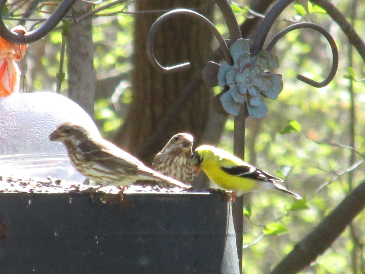 Female Purple Finches are well-suited to blend in while on the nest or when foraging on the ground.  A male goldfinch shares the buffet, outfitted in his sunny yellow and black suit.