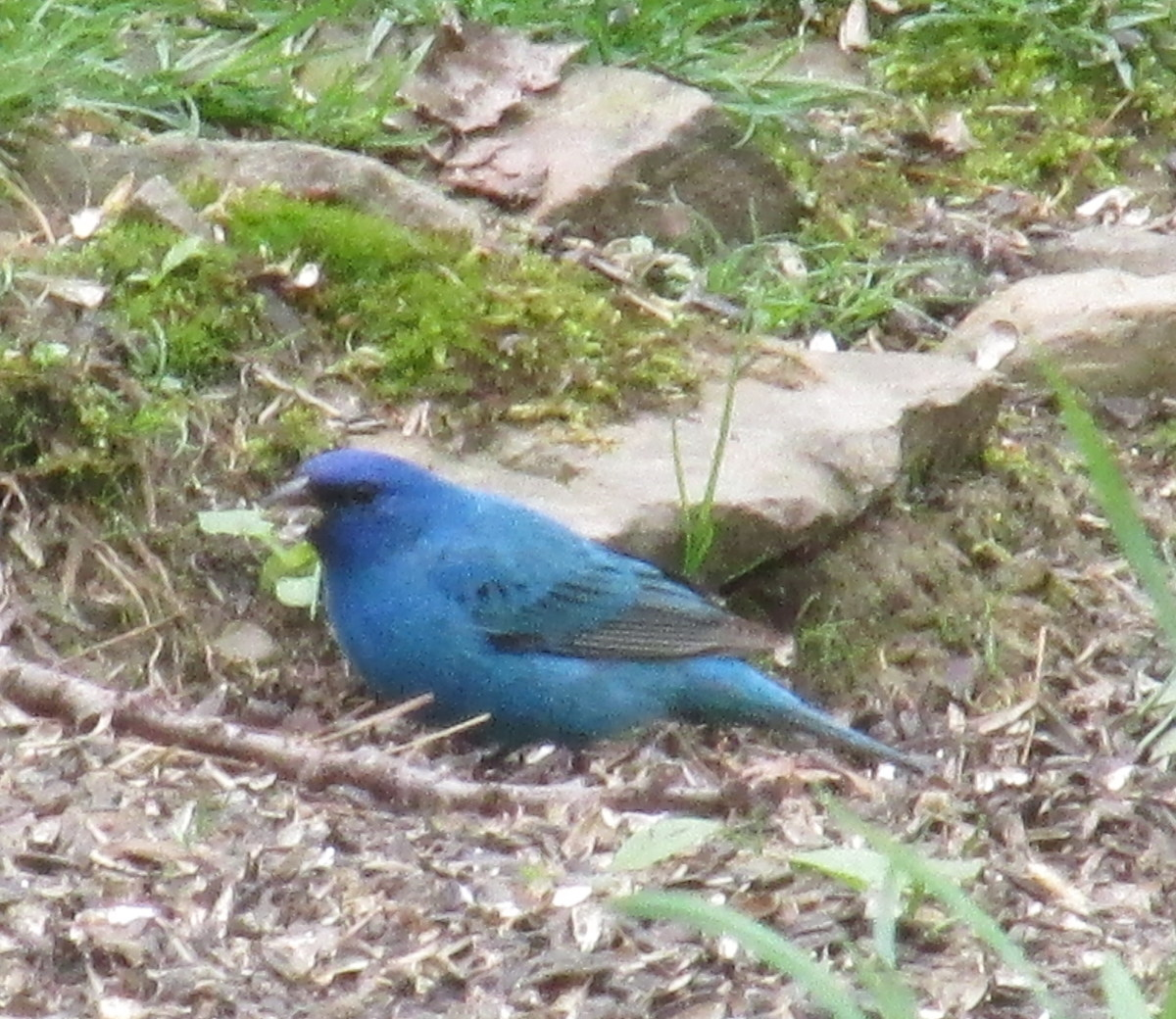 Male Indigo Bunting foraging for seeds.  His cobalt blue color is due to a layer of cells that reflect the light.  Our eyes perceive this as blue, but the true color (brown) comes from melanin.