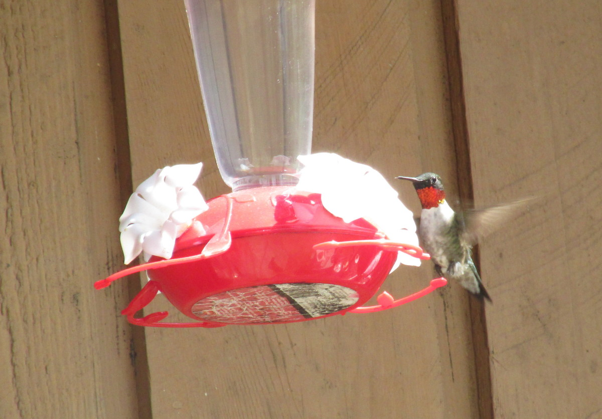 This male Ruby-throated Hummingbird's throat patch looks brilliant red here, but can look black when the light hits it at a different angle.