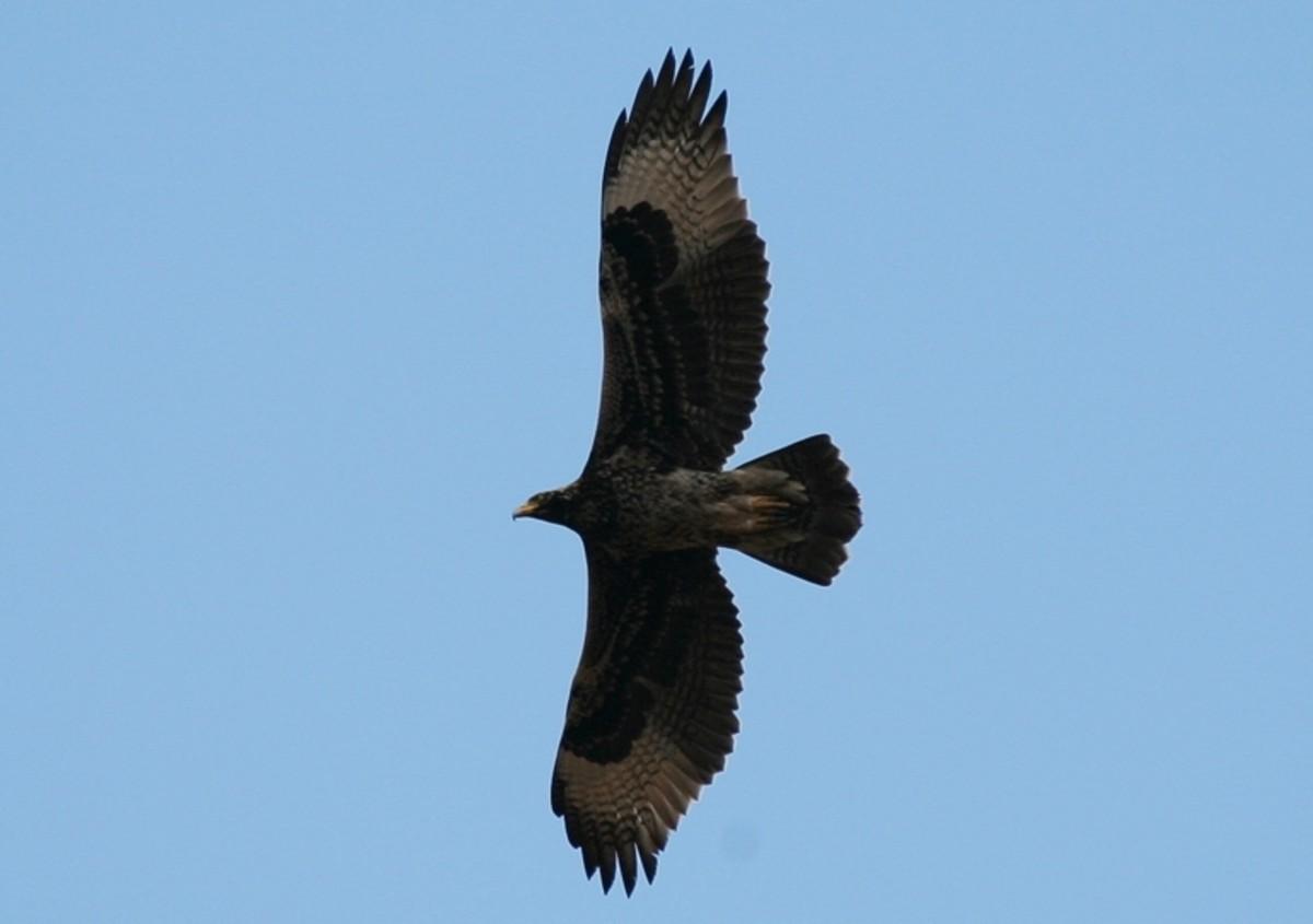 Verreaux's Eagle in flight
