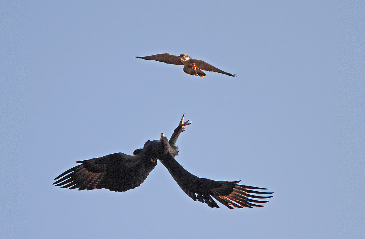 An aerial duel between a Verreaux's Eagle and a Lanner Falcon