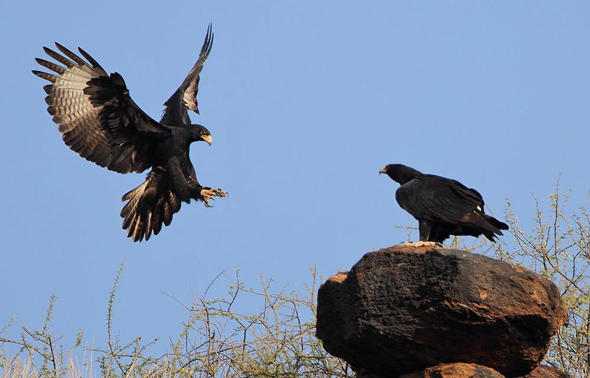 A pair of Verreaux's Eagles