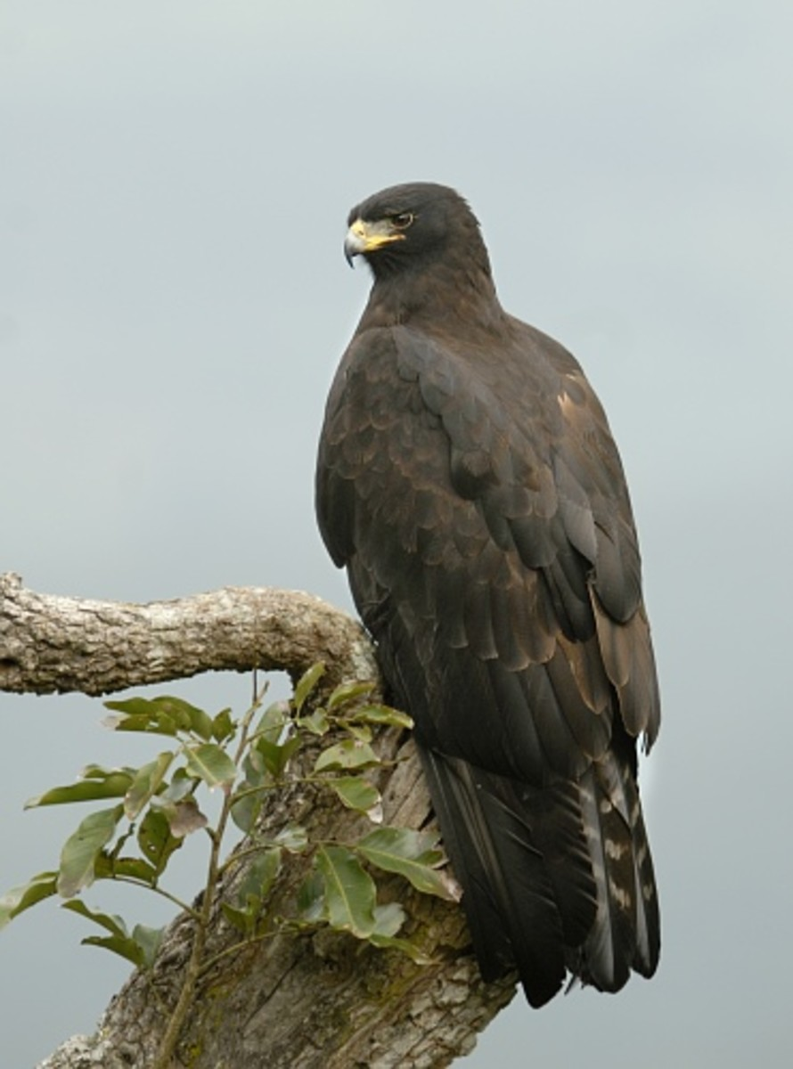 The Verreaux's Eagle