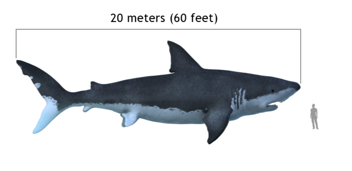 Megalodon was the largest shark that ever lived, and some specimens may have topped 60 feet.
