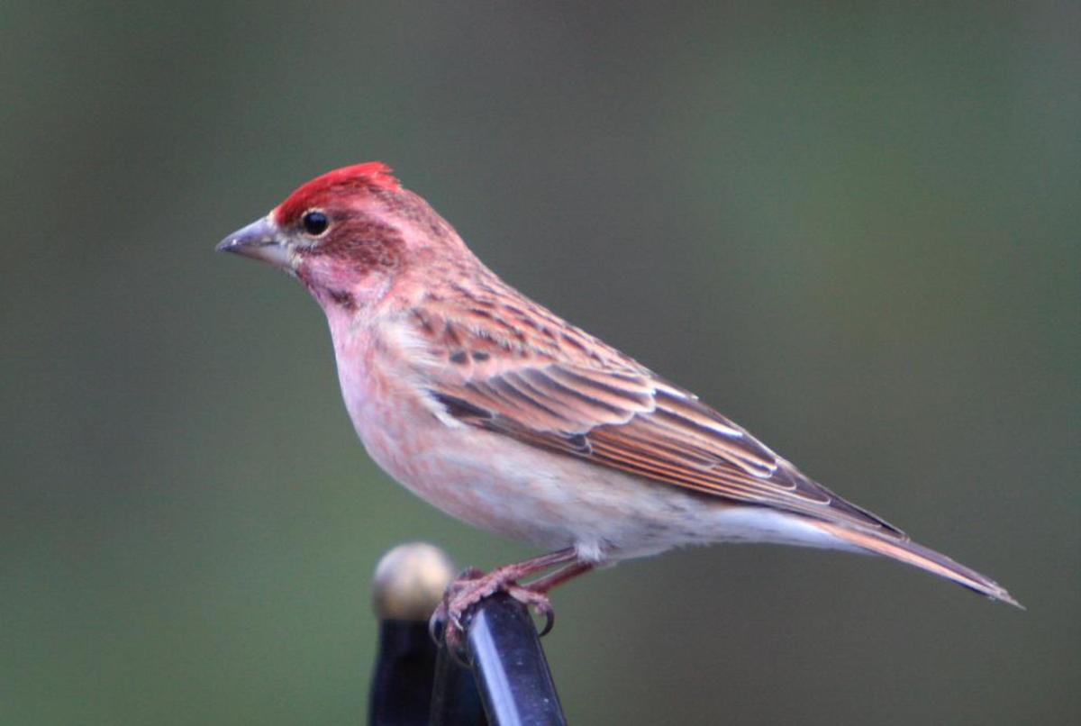 A look-alike cousin to the purple finch, Cassin's finch has a peak at the top of its head; and this bird likes to add bits of other birds' songs to finish its own lovely warbling musical extravaganza.  It is most often found in western mountain woods