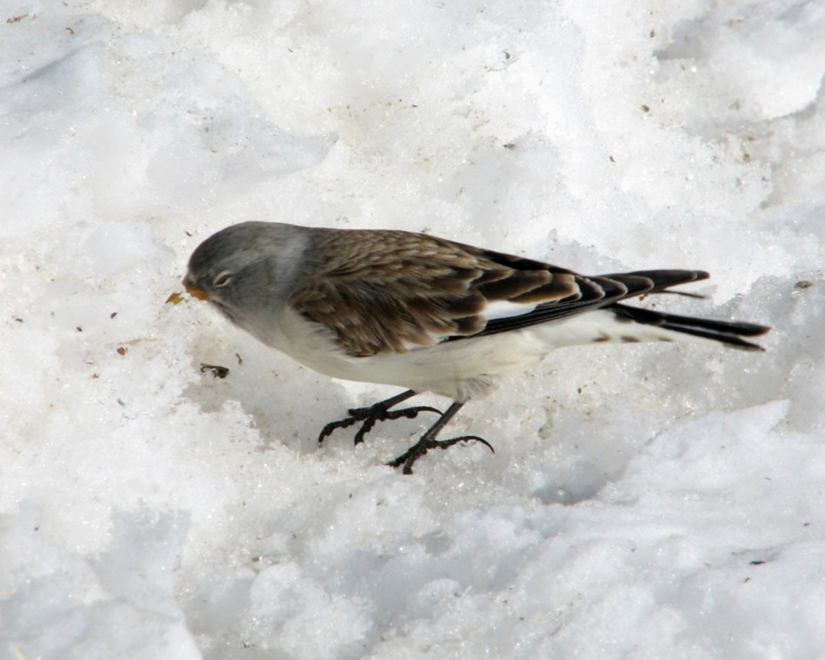 White Winged Snow Finch