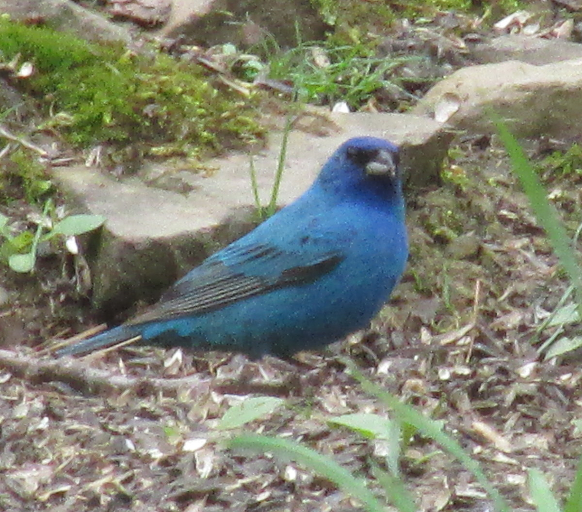 Male Indigo Bunting foraging beneath bird feeders.
