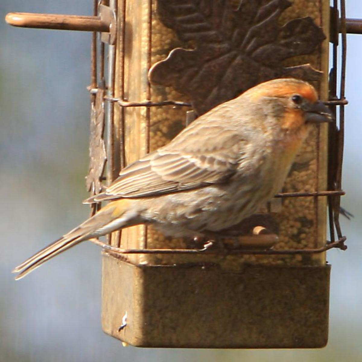 House Finch, Orange Variant.