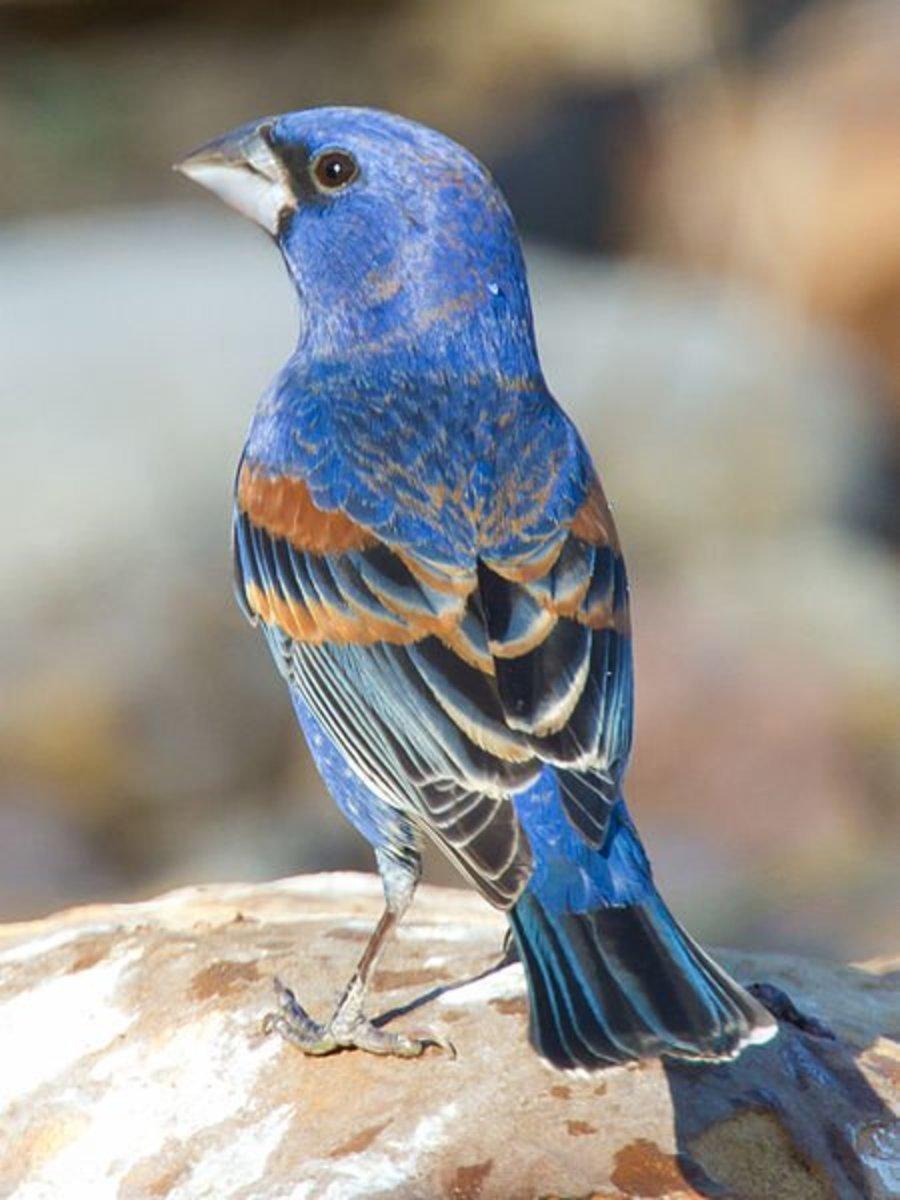 Beautiful Blue Grosbeak is a lovely finch.