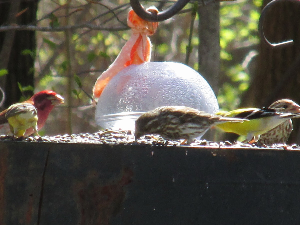 Male Purple Finch and brown-streaked female purple finches share lunch with goldfinches.