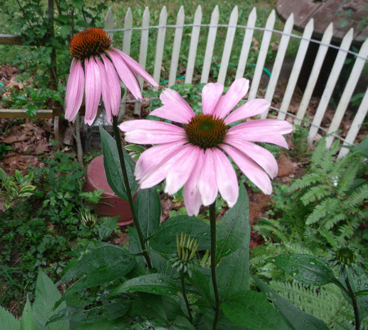 Purple coneflower centers hold lots of potential seeds for my finches to enjoy.