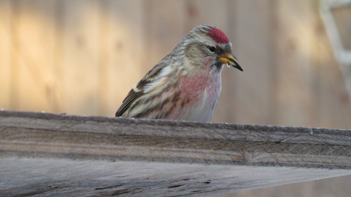 Common Redpoll working at a seed in its beak.