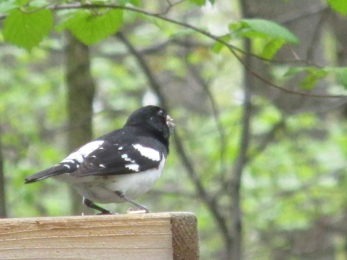 Side view of Male Rose-Breasted Grosbeak.