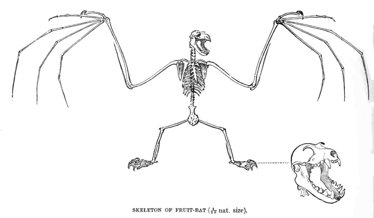 A drawing of the skeleton of the Indian flying fox